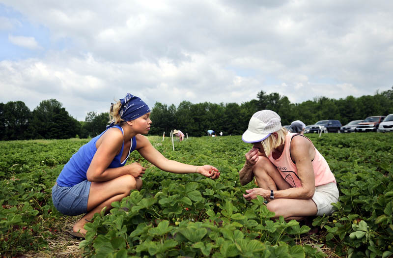 "Sadie Hartford hands her mother, Susie Wilding-Hartford, a handful of strawberries Monday while picking at Seaman's Berry Farm in Litchfield. Farmer Eric Seaman said the picking is good now. ""We just need decent weather and the people to come,"" he said."