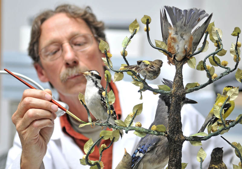 Ronald Harvey, a conservator with Tuckerbrook Conservation, touches up a bird display at L.C. Bates Museum at Good Will-Hinckley on Wednesday. Harvey is a bird conservator, which entails cleaning and color touchup on bird artifacts, in addition to testing for hazardous materials used in the taxidermy process. The bird conservator project was made possible be a federal grant from the Institute of Museum and Library Services in Washington D.C.