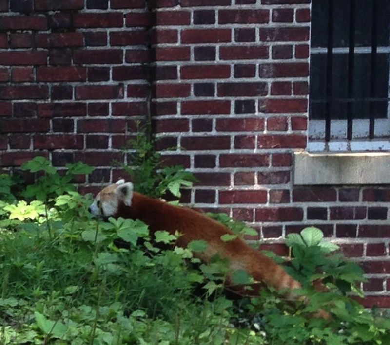 This photo provided by Ashley Foughty shows a red panda in a Washington neighborhood, Monday, June 24, 2013. Animal keepers from the National Zoo captured the red panda, a male named Rusty, in a bush in the Adams Morgan neighborhood Monday after it went missing from its enclosure at the zoo. (AP Photo/Ashley Foughty)