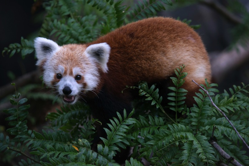 This undated handout photo provided by the National Zoo shows a red panda that went missing from its enclosure at the zoo in Washington. National Zoo spokeswoman Pamela Baker-Masson says animal keepers discovered the male red panda named Rusty was missing Monday morning. Red pandas are in a separate family from giant pandas and are listed as vulnerable in the wild. (AP Photo/Smithsonian's National Zoo, Abby Wood) Red Panda- Rusty