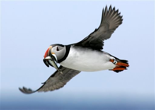 An Atlantic puffin flies with a mouthful of hake on its way to feed its chick on Eastern Egg Rock in July 2007. Scientists say the comical-looking seabirds have been dying of starvation and losing body weight, possibly because of shifting fish populations due to warming ocean temperatures.