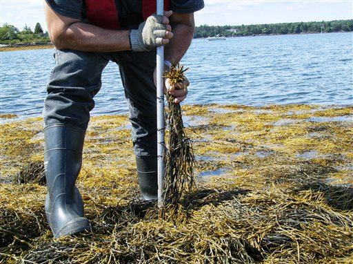 """In this undated handout photo provided by Source, Inc., a Gavin Hood uses a """"truth pipe"""" to measure plants to make sure workers are meeting cut height restrictions of rock weed harvested on the Maine coast. All harvesters have to be licensed and are required to cut rockweed at least 16 inches above where it holds onto rocks, to allow the plants to survive and regenerate."""
