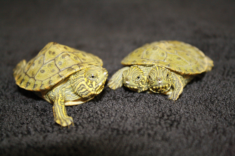Thelma and Louise, a two-headed Texas cooter turtle, is seen next to a normal texas cooter at the San Antonio Zoo.