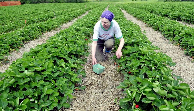 Judy Richardson, owner of Richardson's Strawberry farm in Clinton, picks berries for stand sales on Monday. Richardson said the stand is open daily and as berries ripen, the farm will open for pick-your-own later this month.