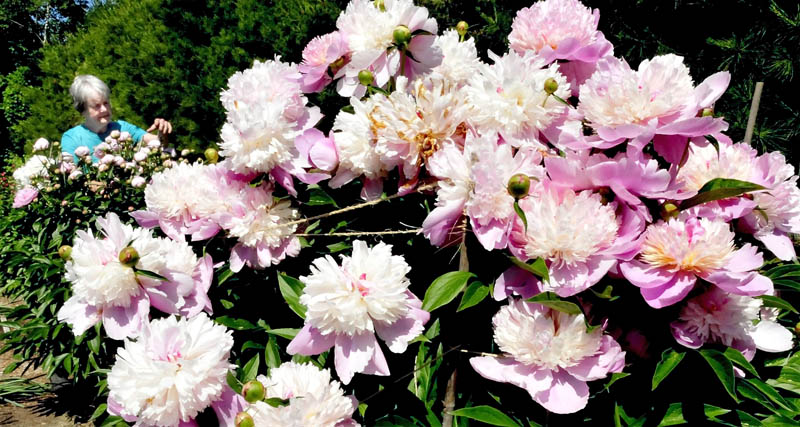 Louise Alley works in a row of flowering peonies in one of her prolific gardens at her home in Waterville on Monday. Later in the summer, the garden is filled with lily flowers.