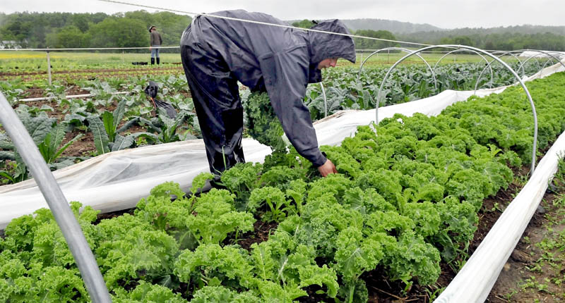 Cassie Seawell harvests kale in the pouring rain at Village Farm, a community-supported agriculture venture, in Freedom on Tuesday.
