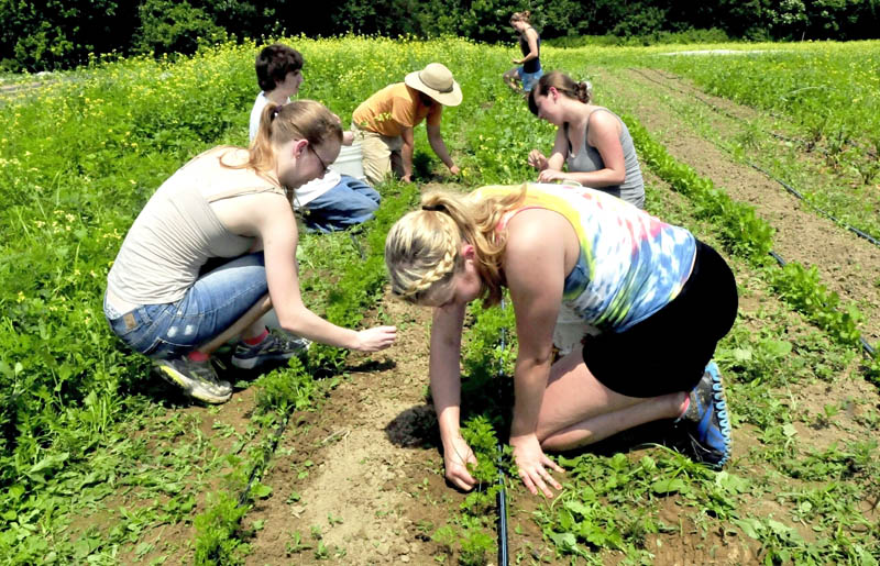 Members of Upward Bound, including Faith Paglierani, front left, and Sara Parlin, weed around carrots at the Rustic Roots farm in Farmington on Tuesday. The group was taking part in a career experience project.