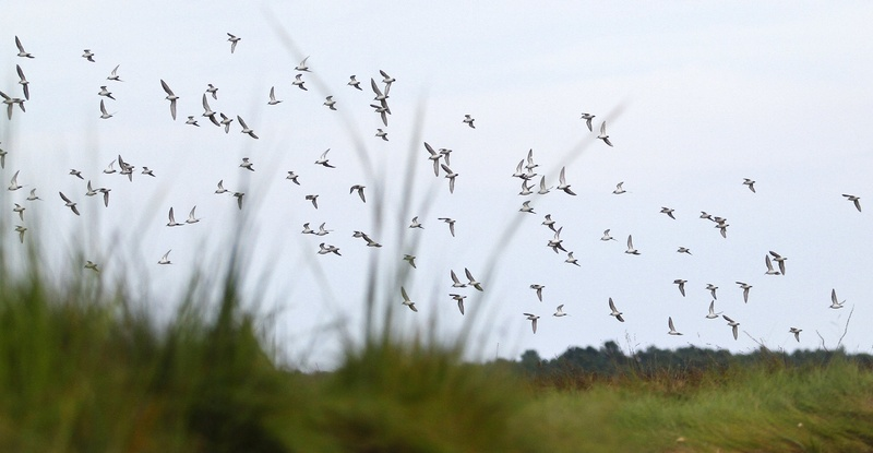 A flock of birds passes through Scarborough Marsh. A new study looks at the impact of superstorm Sandy on marshes from Maine to Virginia.