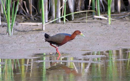 In this undated image, a Rufous-necked wood-rail walks along the edge of a marsh at Bosque del Apache National Wildlife Refuge near San Antonio, N.M. The bird is typically found along the coasts and in tropical forests in Central and South America.