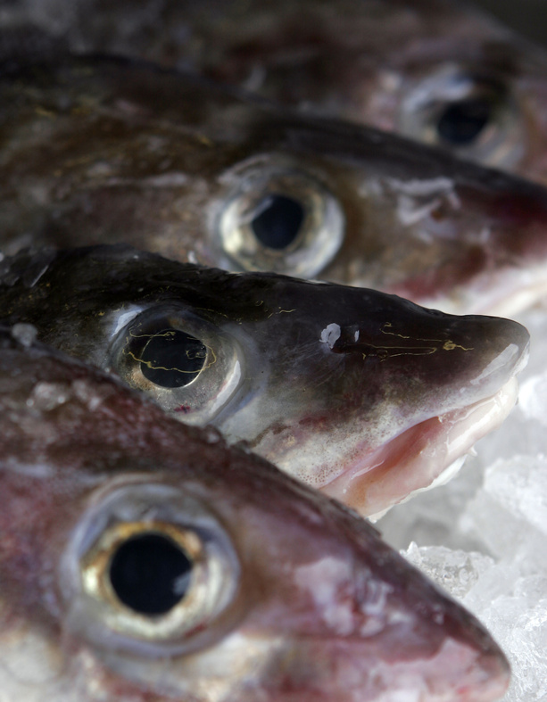 Cod are among the species that are sensitive to changing ocean temperatures.