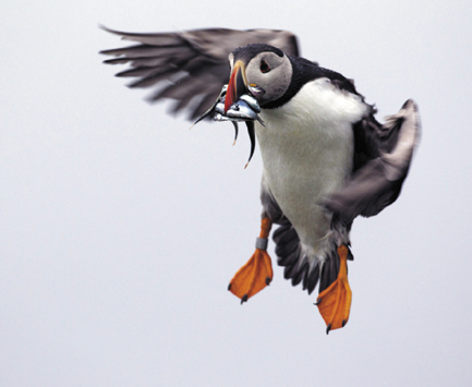 A puffin prepares to land with a bill full of fish on Eastern Egg Rock off the Maine coast. Last year young puffins died at an alarming rate from starvation because of a shortage of herring. This summer the young are getting plenty of hake and herring, said Steve Kress, director of the National Audubon Society's seabird restoration program.