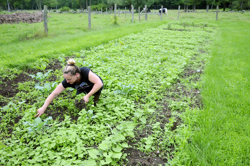 "Tracey Holloway weeds her garden Monday near his Readfield home, during a brief respite from rain. Holloway said the plot was growing nicely despite heavy rain but needed to have the weeds yanked ""before it rains again."""