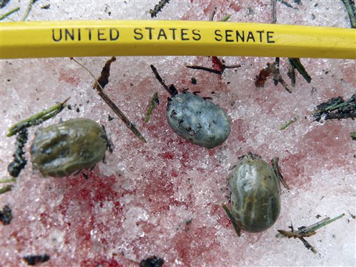 This undated photo provided by the Vermont Fish and Wildlife Department shows engorged female winter ticks that had dropped off a moose at its bloody bed site in Wheelock, Vt. State biologists are concerned the ticks, which become less of a problem in colder climates and after longer winters, could be contributing to a decline in the population rates of the state's estimated 3,000 moose.