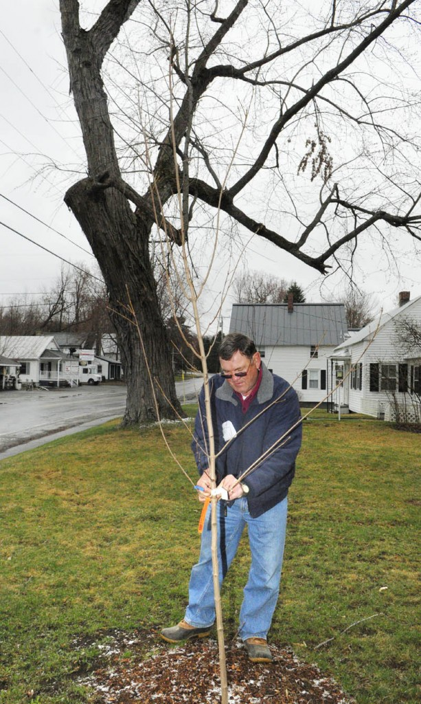 Rich Baker, chairman of the Belgrade Tree Committee, takes the tags off a sugar maple tree that was planted along Main Street in March, 2012. Baker said he, and the other six members of the Tree Committee, will resign after a memorial tree dedication at the Belgrade Public Library, expected sometime this month.