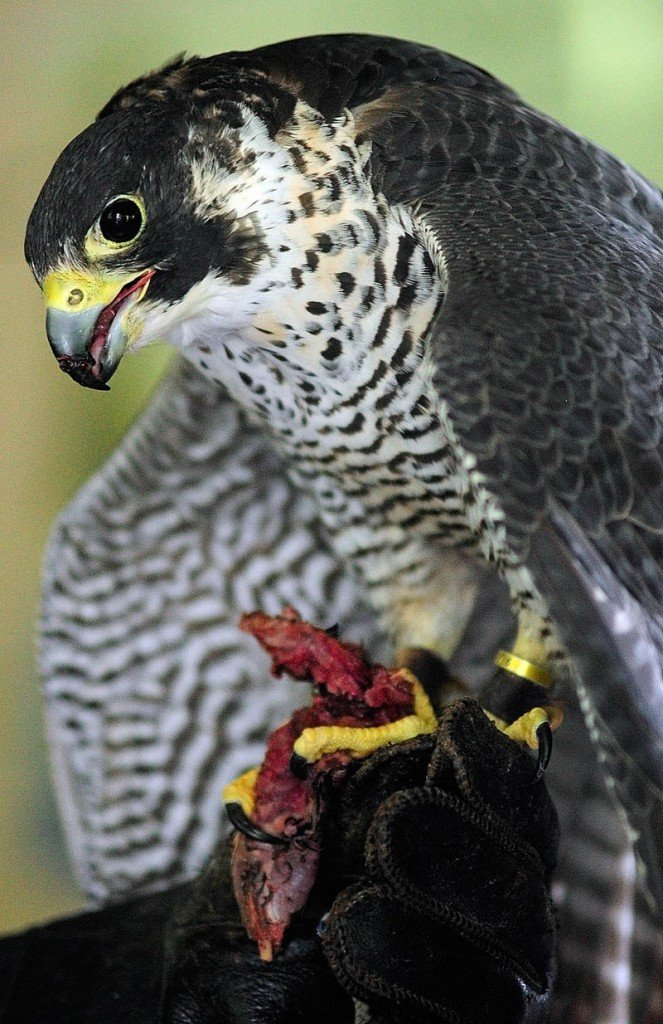 A Peale's peregrine falcon eats a piece of quail at the start of Larry Barnes' talk on Saturday in the boat house at the Steve Powell Wildlife Management Area, on Swan Island between Richmond and Dresden.