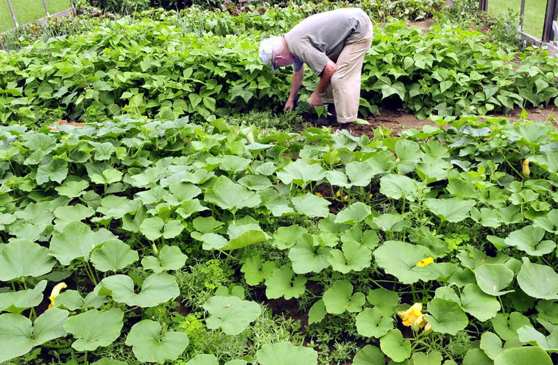 Milton Poulliot harvests cucumbers in his garden in Winslow on Wednesday.