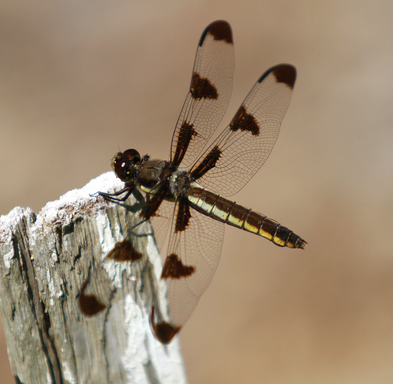 A dragonfly rests in a sunny spot last month in Scarborough. The town buys the insects and sells them to local customers for mosquito control, although it doesn't have a permit to import dragonflies from out of state.