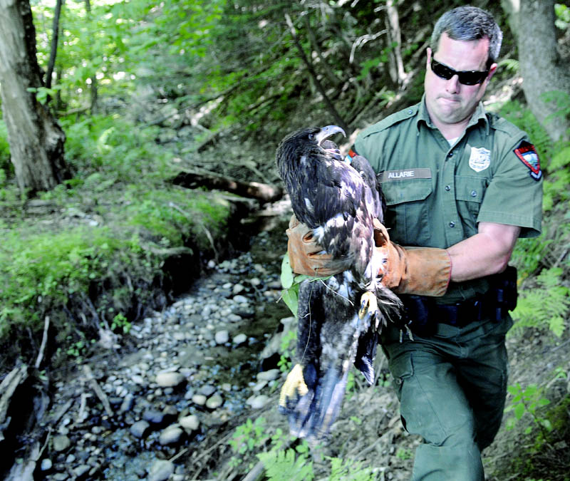 District Game Warden Steve Allarie carries an eaglet today, that he captured on the banks of the Kennebec River in Chelsea. The bird was spotted over the last two weeks walking through yards along the Kennebec River in Hallowell before perching on a picnic table overnight in Hallowell, warranting a call to wildlife law enforcement. Allarie collected the malnourished raptor after a brief foot chase and canoed the animal across the river to Hallowell, where a volunteer from Avian Haven, of Freedom, collected it. After a thorough evaluation, the eaglet is expected to be rehabilitated at Avian Haven before being released back into the wild. The bird probably fledged too early, Allarie said, and was unable to provide for itself in the wild.
