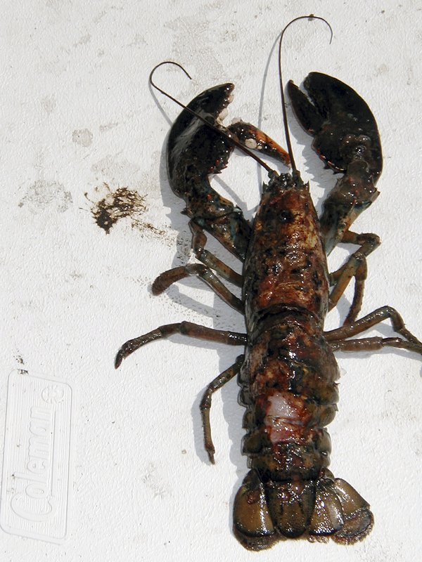 A photo provided by the University of Rhode Island in North Kingstown, R.I., shows a lobster with a diseased shell. The disease that has plagued the southern New England lobster industry now is becoming more prevalent in Maine.