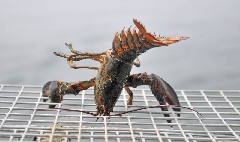 A lobster grips a trap after being hauled out of the ocean on July 24.