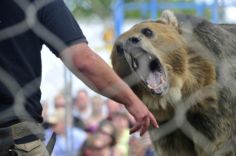 Tonk, a grizzly bear, performs at the Skowhegan State Fair today.