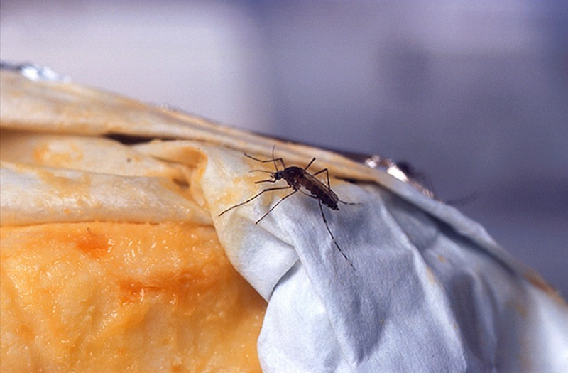 This undated handout photo provided by the Agriculture Department shows a female yellowfever mosquito probes a piece of Limburger cheese, one of few known mosquito attractants. Despite our size and technological advantages, we still can't seem to win our ancient blood battle with the pesky and lethal mosquito. (AP Photo/Peggy Greb, USDA)