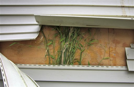 This May 2012 photo provided by John Arcarese shows running bamboo that had grown behind vinyl siding on the side of the family garage in Bozrah, Conn. The plant spread from a neighbor's yard, where it was planted several feet from the property line about seven years earlier.