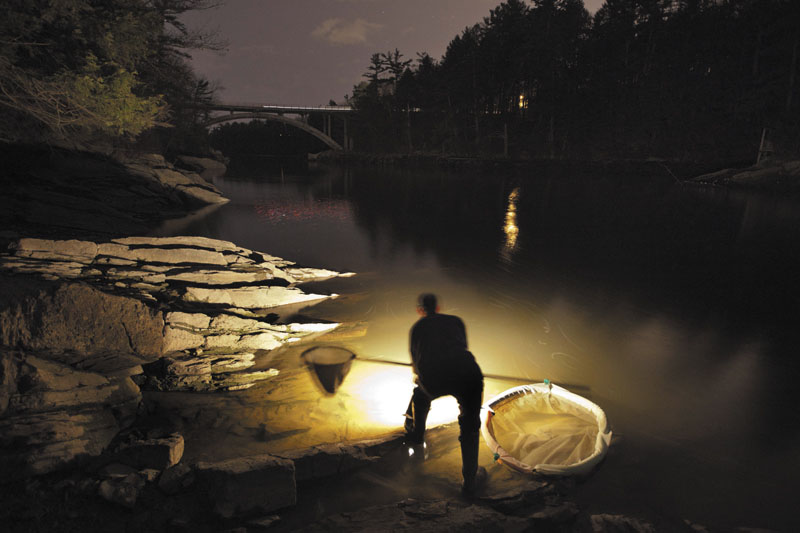 In this April 2012 file photo, Bruce Steeves uses a lantern while dip netting for elvers on a river in southern Maine. Elvers have become big business in Maine with prices that have topped $2,000 a pound.