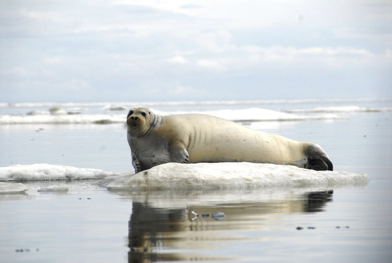 A seal rests on a chunk of ice off the coast of Alaska, where the ice pack has been reduced by climate change.
