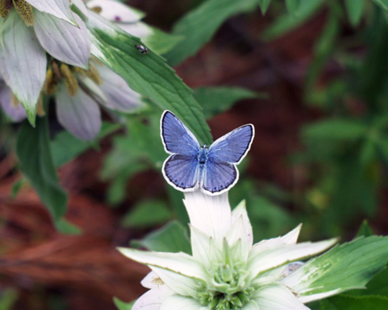 Endangered blue butterfly makes comeback in N H