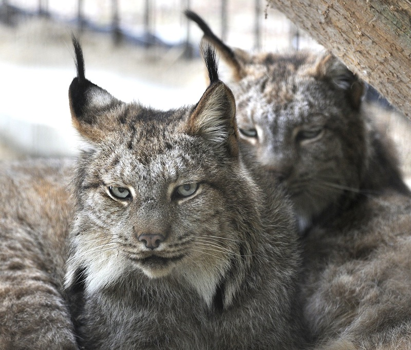 In this October 2012 file photo, a pair of Canada lynx share a home at the Maine Wildlife Park in Gray. A proposal would designate more than 41,000 square miles within the states of Maine, Minnesota, Montana, Idaho, Washington and Wyoming as critical habitat for the Canada lynx.