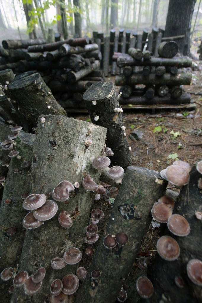 In this Sept. 13, 2013, photo, shiitake mushrooms grow in logs in Shrewsbury, Vt. With a few logs from their forests and little work farmers are turning to a new crop: shiitake mushrooms that can bring in tens of thousands of dollars. A grant from the USDA has helped to teach farmers from Maine to Virginia how to raise shiitakes mushrooms. (AP Photo/Toby Talbot)