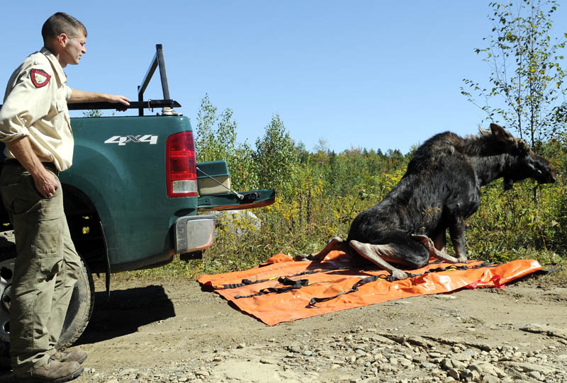 Inland Fisheries and Wildlife biologist Kendall Marden observes a yearling bull moose wake up Wednesday an hour after he tranquilized and relocated it across Augusta.