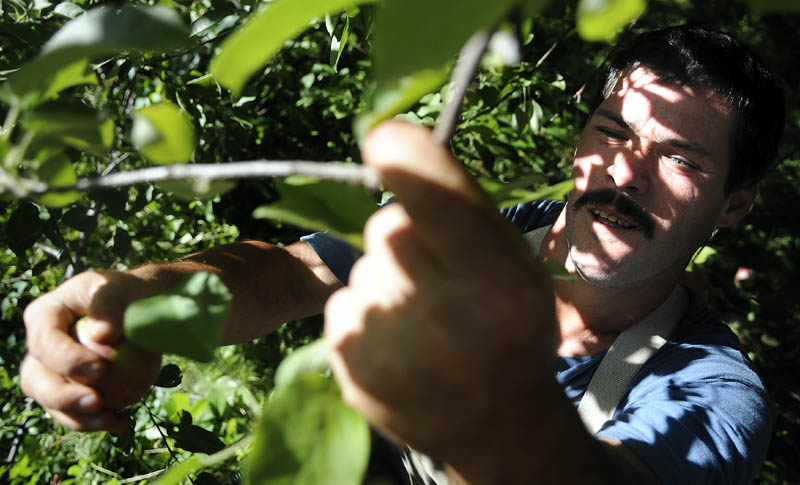 Brian Malanson harvests a McIntosh apple today at Lakeside Orchards in Manchester. The orchard cultivates 30 varieties of apples, with Cortland and McIntosh ripe to pick by visitors. Malanson, of Vermont, and other migrant harvesters collected apples in the Brick Yard section of the orchard for sale at the farm's market.