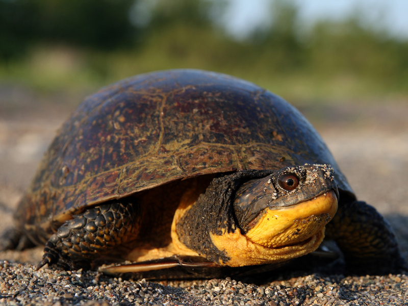 A female Blanding's turtle