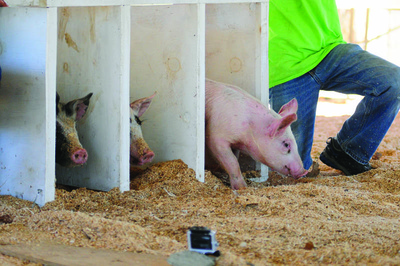 A trio of pigs take off from their starting crates during the pig races on Friday at the Litchfield Fair.