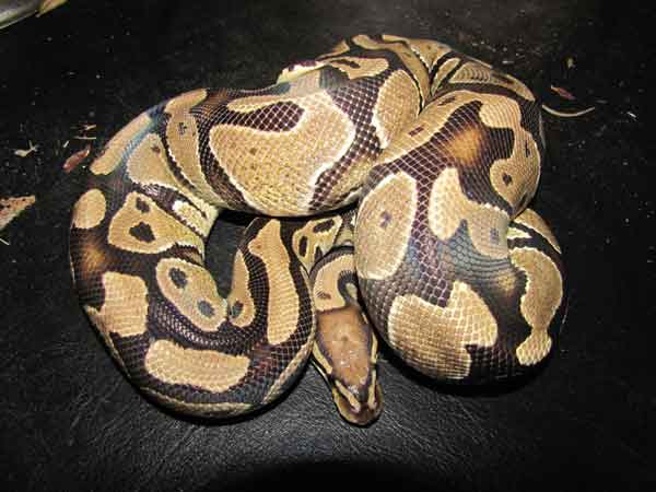This is a vanilla ball python and one of the breeding snakes for Safari Pets. Ball pythons get their name because they tend to curl up in a ball when startled or under stress.