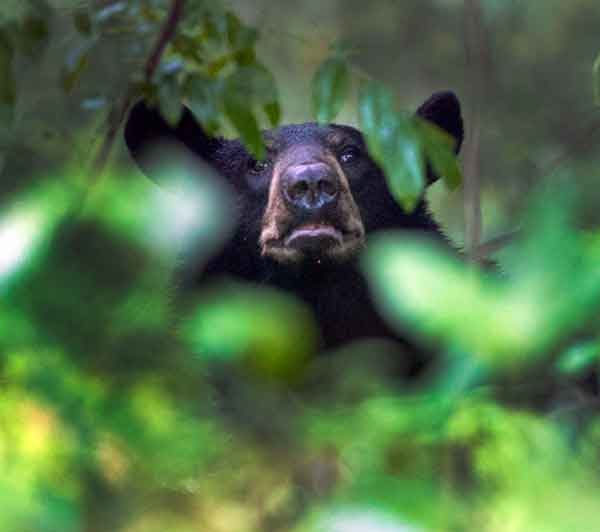 IN HIDING: A black bear peeks through the leaves after being tracked through subdivisions in Ashland, Ky., in 2011.