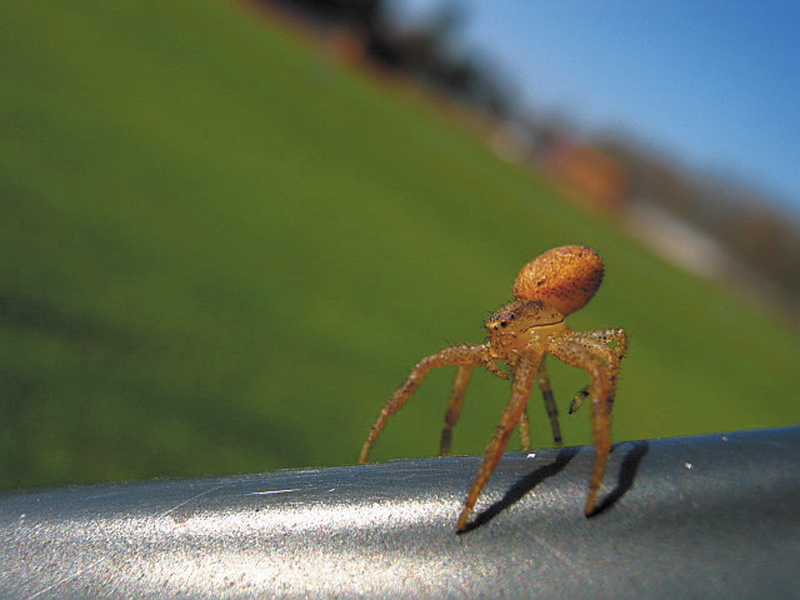 """A juvenile crab spider (of the family Thomisidae) gets ready to take off, or balloon, into the wind by """"tiptoeing"""" on the back of a bench at the park in Unity."""