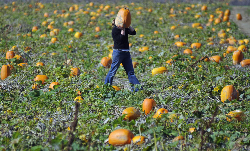 Mary Hastings, of Chesterville, carries a pumpkin from the self pick patch at the Stevenson Farm Thursday in Wayne. Hastings collected 12 pumpkins with four generations of her family at the patch, which will be open for self selection every weekend through Halloween.