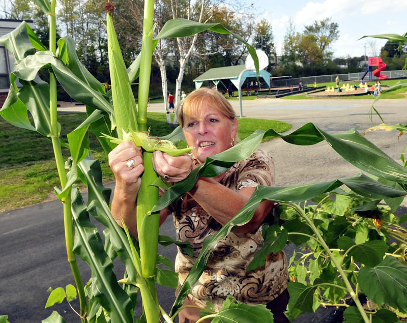 As students play in background, Cathy Ribbons shucks an ear of corn to see its progress in one of the gardens at the George J. Mitchell school in Waterville.