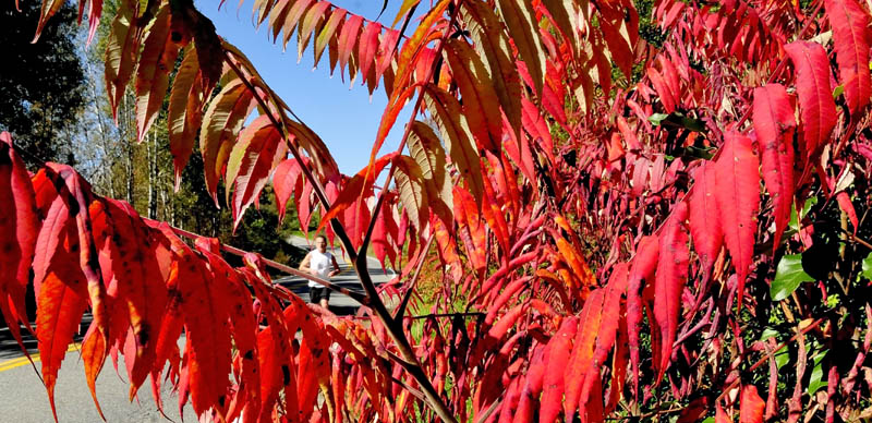 David Benn runs on the County Road in Waterville, past brilliant-red sumac bushes, today. Autumn foliage is well underway in central Maine and northern portions of the state are at peak foliage.