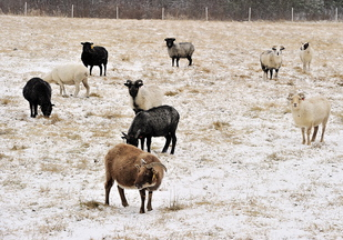 Goats forage for grass under the freshly fallen snow at a farm on Stevens Road in Windham.