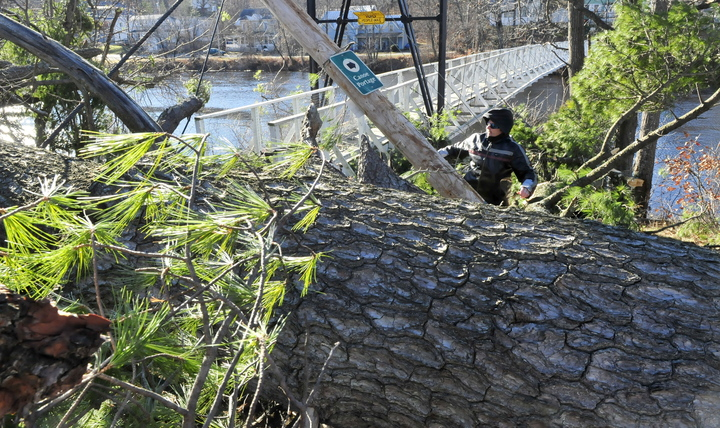 DOWN AND OUT: Charles Hutchins Sr. on Monday struggles to walk around a pine tree that broke and fell at the entrance of Skowhegan's historic Swinging Bridge. Hutchins said a friend of his who lives nearby told him it sounded like explosions when the huge tree broke Sunday.