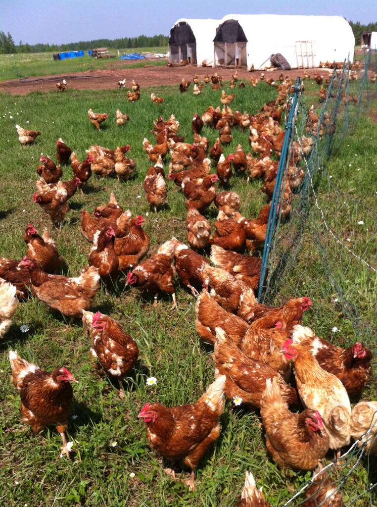 POULTRY ATHLETES. Former Winslow resident Lucie Amundsen, co-owner of Locally Laid egg farm, says her pasture-raised chickens benefit from having access to exercise, sunshine, grass and bugs, leading to better tasting and more nutritious eggs.