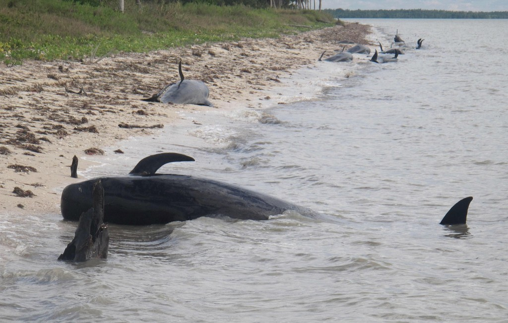 In this Tuesday, Dec. 3, 2013, photo provided by the National Park Service, pilot whales are stranded on a beach in a remote area of the western portion of Everglades National Park, Fla. Federal officials said some whales have died. The marine mammals are known to normally inhabit deep water.