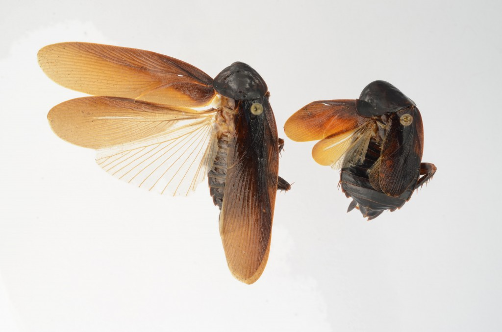 This photo provided by the University of Florida, shows both male, left, and female Periplaneta japonica.