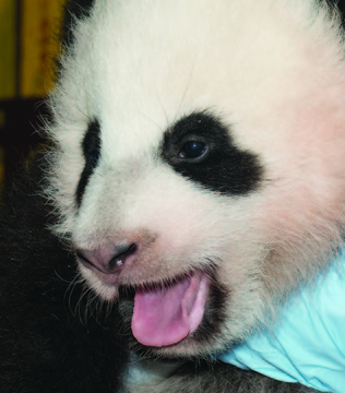 The Smithsonian National Zoo: has introduced its newest giant panda cub: Bao Bao. Pronounced (bough-BOUGH), Bao Bao means precious or treasure in Mandarin Chinese. The cub, who lives at the National Zoo in Washington, D.C., will make her public debut sometime next year.