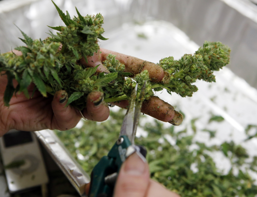 A worker processes marijuana in the trimming room at the Medicine Man dispensary and grow operation in northeast Denver. Colorado prepares to be the first in the nation to allow recreational pot sales, opening Jan. 1.