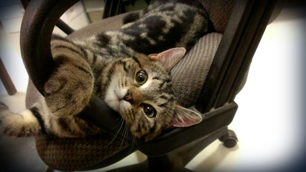 Paws on your heart: Snuggles, born with Feline Immunodeficiency Virus, and currently residing at the Kennebec Valley Humane Society, seeks an adoptive home.
